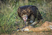 Hooded vulture (Necrosyrtes monachus) scavenging an impala in Kruger National park, South Africa