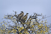 White backed Vulture (Gyps africanus) paire on a branch in Kruger National park, South Africa