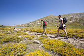 Hikers on the GR 20, stage between the refuge of Manganu and the Col de Verghio or Castellu di Vergio, Lake Nino (1760m), flowering of the Corsica Broom (Genista Corsica), Haute-Corse, France