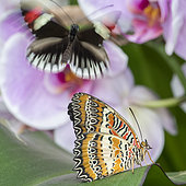 Red Lacewing (Cethosia biblis) on leaf, Greenhouse of the botanical garden of Nancy, Lorraine, France