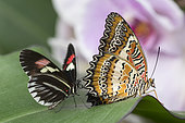 Red Lacewing (Cethosia biblis) and Postman Butterfly (Heliconius melpomene) on leaf, Greenhouse of the botanical garden of Nancy, Lorraine, France