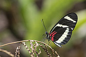 Heliconius Butterfly (Heliconius hewitsoni) on a stem, Greenhouse of the botanical garden of Nancy, Lorraine, France