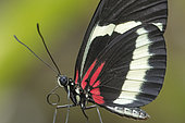 Heliconius Butterfly (Heliconius hewitsoni) portrait, Greenhouse of the botanical garden of Nancy, Lorraine, France