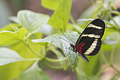 Heliconius Butterfly (Heliconius hewitsoni) on a leaf, Greenhouse of the botanical garden of Nancy, Lorraine, France
