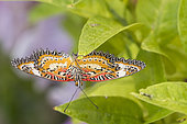 Leopard Lacewing (Cethosia cyane) on a leaf, Greenhouse of the botanical garden of Nancy, Lorraine, France