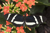 Heliconius Butterfly (Heliconius hewitsoni) on flowers, Greenhouse of the botanical garden of Nancy, Lorraine, France