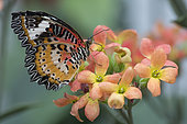 Red Lacewing (Cethosia biblis) on flowers, Greenhouse of the botanical garden of Nancy, Lorraine, France