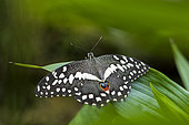 Citrus Swallowtail (Papilio demodocus) on a leaf, Greenhouse of the botanical garden of Nancy, Lorraine, France