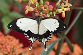 African Swallowtail (Papilio dardanus) on flowers, Greenhouse of the botanical garden of Nancy, Lorraine, France