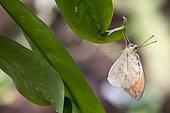Great Orange-tip (Hebomoia glaucippe) on leaf, Greenhouse of the botanical garden of Nancy, Lorraine, France