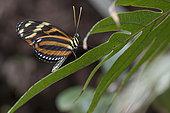 Ismenius tiger (Heliconius ismenius) on a leaf, Greenhouse of the botanical garden of Nancy, Lorraine, France