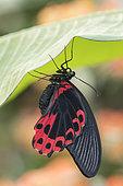 Scarlet Mormon (Papilio rumanzovia) on leaf, Greenhouse of the botanical garden of Nancy, Lorraine, France