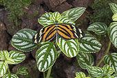 Ismenius tiger (Heliconius ismenius) on leaves, Greenhouse of the botanical garden of Nancy, Lorraine, France