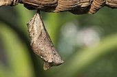 Owl Butterfly (Caligo memnon) chrysalis, Greenhouse of the botanical garden of Nancy, Lorraine, France