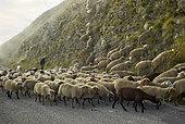 Troupeau de moutons au col de Turini, en automne, Parc National du Mercantour, Alpes, France