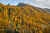 Fall larche forest in the Gordolasque valley, Mercantour National Park, Alps, France
