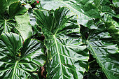 Alocasia (Alocasia macrorrhiza), Les Mamelles, Botanical and Zoological Park, Guadeloupe