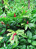 Ornamental Ginger (Alpinia sp) / Red Ginger (Alpinia purpurata), Les Mamelles, Botanical and Zoological Park, Guadeloupe