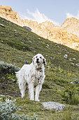 Patou dans un alpage, Parc naturel régional du Queyras, Alpes, France