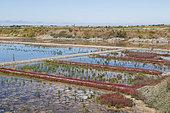 Abandoned salt marsh overgrown with Glasswort, Guérande, Loire Atlantique, France