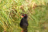 Moorhen (Gallinula chloropus) chick at the edge of a pond, Finistère, France
