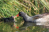 Moorhen (Gallinula chloropus) Adult feeding a chick at the edge of a pond, Finistère, France