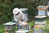 Maintenance of an apiary, Inspection of rays and smoke to calm the bees, autumn, Finistère, France