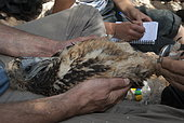 Egyptian Vulture (Neophron percnopterus) researchers banding juvenile