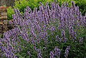 Kitchen sage (Salvia officinalis) flowers