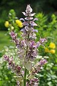 Clary sage (Salvia sclarea) flowers