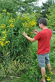 Picking Common tansy (Tanacetum vulgare)