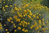 Lavender cotton (Santolina chamaecyparissus)