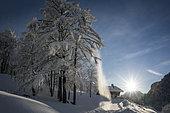 Plastered snow tree in the Chablais massif, near the Hirmentaz ski resort, Haute-Savoie, Alps, France