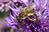 Halicte (Lasioglossum lucidulum) pollinating pollen on the legs of a Mining bee (Halictus scabiosae) female trying to get rid of it Regional Natural Park of Northern Vosges, France