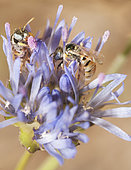 Sweat Bee (Nomioides minutissimus) females on Sheep's-bit (Jasione montana), Regional Natural Park of Northern Vosges, France