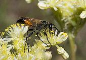 Hairy Sand Wasp (Podalonia hirsuta) on flowers, Mercantour National Park, Alps, France