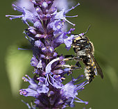 Potter bee (Anthidium septemspinosum) male on Hyssop (Hyssopus officinalis), pays de Loire, France