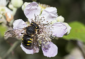 Potter bee (Anthidium septemspinosum) on Mulberry tree (Rubus fructicosus), Regional Natural Park of Northern Vosges, France
