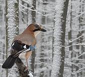 Eurasian Jay (Garrulus glandarius) on abranch in the snow, Regional Natural Park of Northern Vosges, France