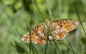Pearl-bordered Fritillary (Boloria euphrosyne), Regional Natural Park of Ballons des Vosges, France