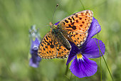 Pearl-bordered Fritillary (Boloria euphrosyne) on flower, Regional Natural Park of Ballons des Vosges, France