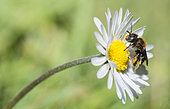 Spined Mason Bee (Osmia spinulosa) female on a daisy, Vosges du Nord Regional Nature Park, France