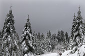 Spruce (Picea abies) in winter and dead tree for Woodpeckers, Black Forest National Park, Germany