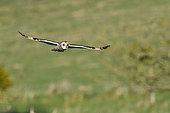 Short-eared owl (Asio flammeus) Wintering adult hunting in flight, Polder de Ploubalay, Brittany, France