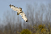 Short-eared owl (Asio flammeus) Wintering adult hunting in dive, Polder de Ploubalay, Brittany, France