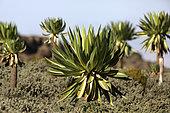 Giant Lobelia (Lobelia giberroa), Bale Mountains, Ethiopia