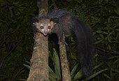 Aye-aye (Daubentonia madagascariensis), Western Masoala, Madagascar, Africa