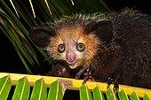 Aye-aye (Daubentonia madagascariensis), Masoala National Park, Madagascar, Africa