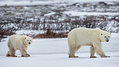 Polar bear (Ursus maritimus), Cub and his mother walking on a frozen lake. Churchill, MB, Canada