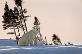 Polar bear (Ursus maritimus), Polar bear mum and cubs near a den. Churchill, MB, Canada